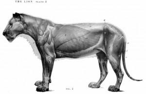lion_anatomy_02_crop